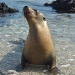 En av en massa sälar på den största ön i Galapagos, Isabela.