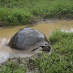 Galapagossköldpaddan, störst i världen bland landsköldpaddor, i blöt miljö på Galapagosön Santa Cruz.