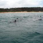 Delfiner på väg. Strax efter detta möter de hajar och sliter dem i stycken. Utanför Durban, Sydafrika.