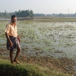 Bördiga risfält hos bonde i Kuttanads flodland i Kerala, den sydligaste av Indiens delstater.