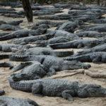 Staden Mahabalipuram vid Indiens sydostkust är full med stenuthuggna tempel, skulpturer och dylikt. Och så finns där en krokodilfarm.