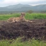 Gepard i det privatägda naturreservat Mkuze Falls i hjärtat av Zululand, Sydafrika. Får min rekommendation för den som söker safarialternativ.