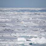 Isbjörn på västsidan av Svalbard, ungefär 80:e breddgraden.