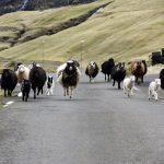 Fåranfall på fårens ö, Färöarna.